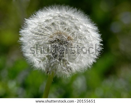 Common Dandelion (Taraxum officinalis) parachute