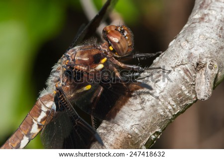Common Darter dragonfly perched on a tree branch. - stock photo
