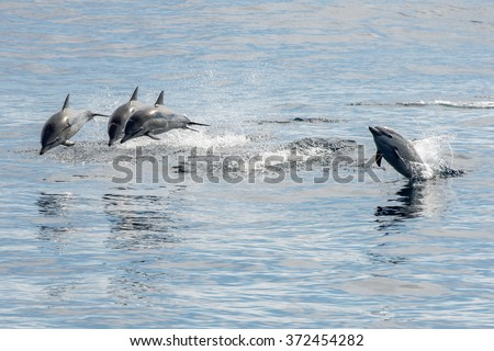 common dolphin jumping outside the pacific ocean in California - stock photo