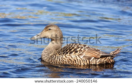 Common duck