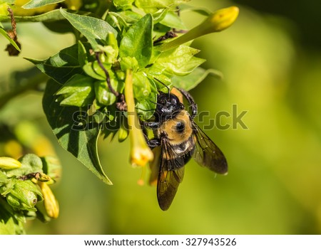 Common Eastern Bumble Bee (Bombus impatiens) gathering pollen from yellow four o'clock  flower (Mirabilis jalapa). - stock photo
