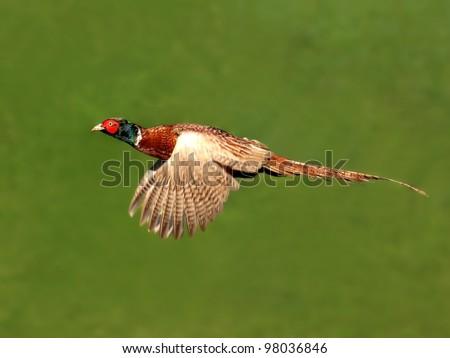 Common european pheasant in flight - stock photo