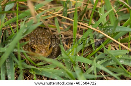 Common frog closeup on grass after rain - stock photo