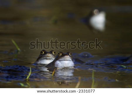 Common frog in the small lake, - stock photo