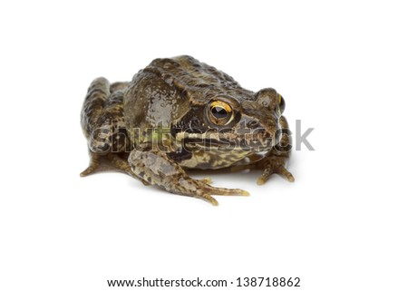 Common frog on white background