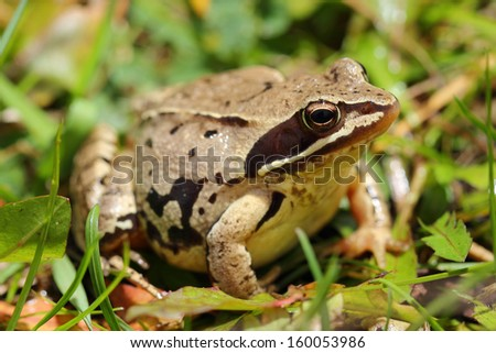 Common frog (Rana temporaria) among grass - stock photo