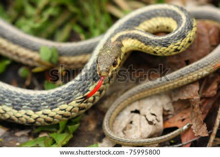 Common Garter Snake - stock photo