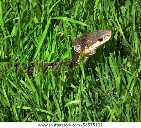 Common Garter Snake (Thamnophis sirtalis), Molting - stock photo