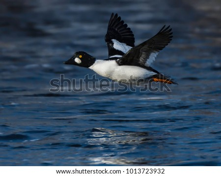 Common Goldeneye in Flight  in Winter
