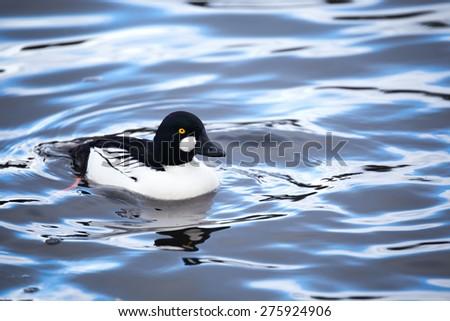 common goldeneye, waterfowl in vancouver Canada - stock photo