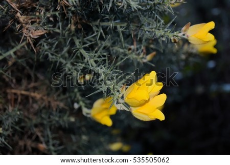 Common gorse flowers with black background
