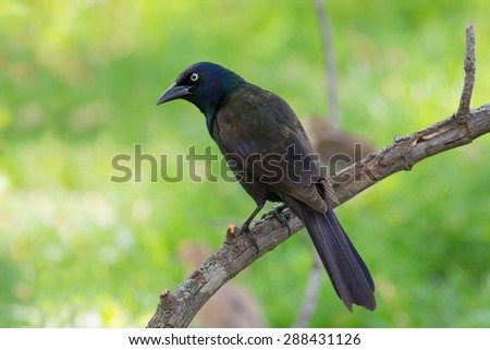 Common grackle perched on a tree branch. - stock photo