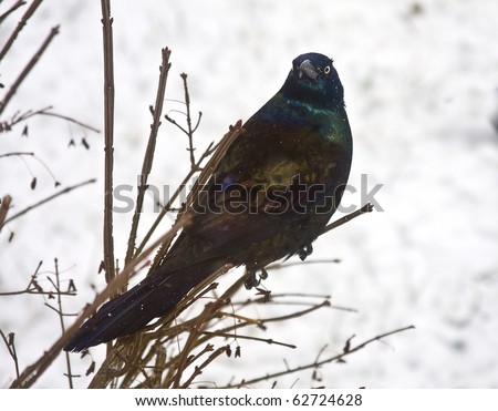 Common Grackle pereched on branches in the midst of snowstorm - stock photo