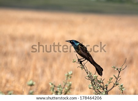 Common Grackle (Quiscalus quiscula)  - stock photo