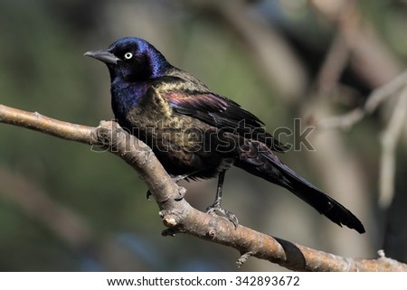Common Grackle (quiscalus quiscula) on a perch - stock photo
