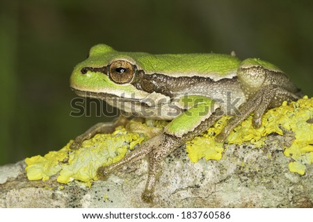 common green toad in natural hanitat - close-up / Hyla arborea
