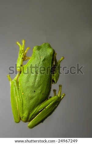 Common Green Tree Frog from top - stock photo