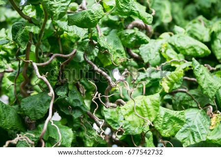 Common Hazel or Corylus Avellana twisted twigs and leaves background