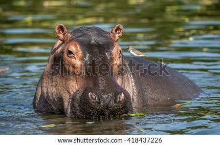 Common hippopotamus in the water. The common hippopotamus (Hippopotamus amphibius), or hippo. Africa - stock photo