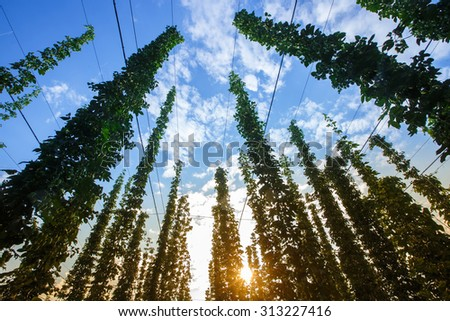 Common hop (Humulus lupulus) against blue sky, lit by sunlight, ripe for picking and used as raw material for beer production. Organic agricultural industry, beer production, raw materials concept.  - stock photo