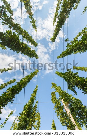 Common hop (Humulus lupulus) from below against blue sky, ripe for picking and used as raw material for beer production. Organic agricultural industry, beer production, raw materials concept.  - stock photo