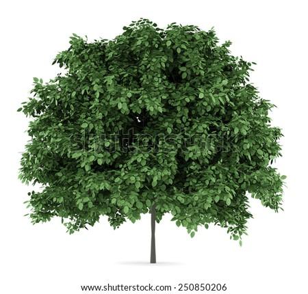 common hornbeam tree isolated on white background - stock photo