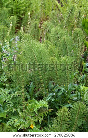 Common horsetail fern ( Equisetum arevense ) in deep forest, Otter Rocks,  Oregon Coast