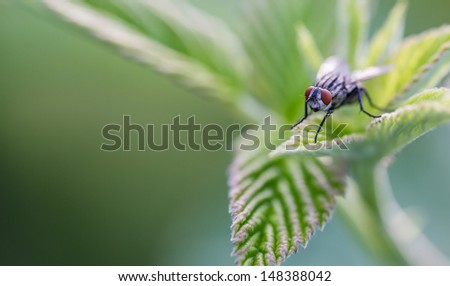 Common house fly resting on a raspberry leaf (focus is on the eyes) with a shallow depth-of-feild - stock photo