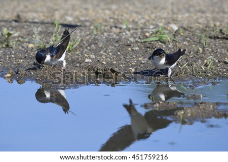 Common House Martin nest building. - stock photo