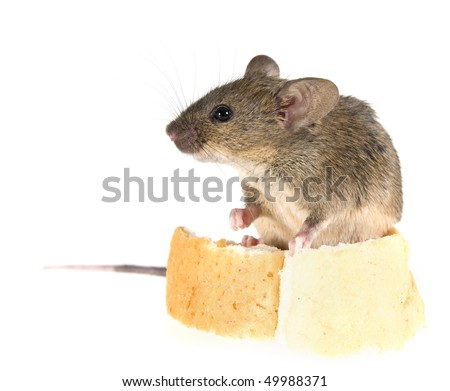 Common house mouse (Mus musculus) is sitting on a crust of bread