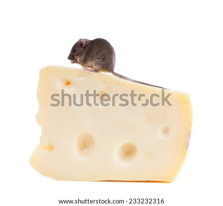Common house mouse (Mus musculus) on a large piece of cheese. Isolated on white background - stock photo