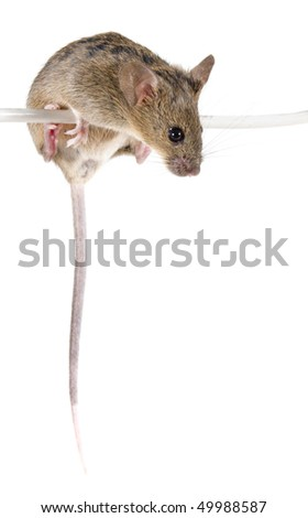 Common house mouse (Mus musculus) on a wire