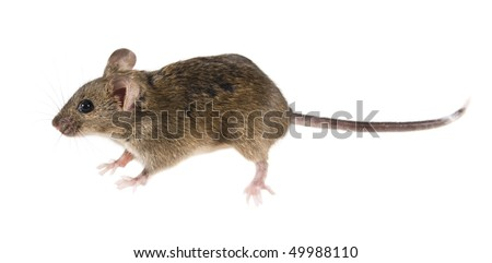 Common house mouse (Mus musculus) side view - stock photo