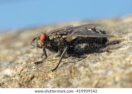 Common housefly Musca domestica - perfect macro - stock photo
