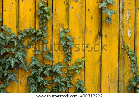 common ivy on yellow wood wall - stock photo