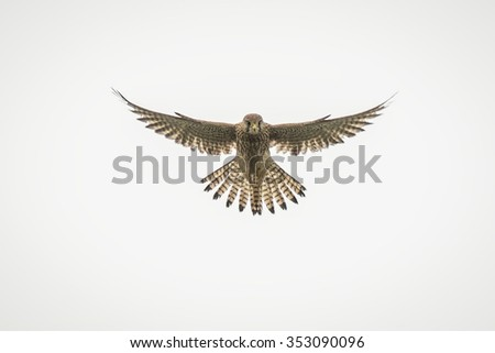Common kestrel, Falco tinnunculus, hovering in the sky while hunting for a prey. The background is white. - stock photo