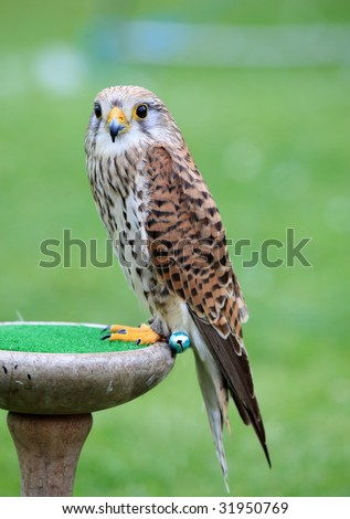 Common Kestrel (Falco tinnunculus) posing , also known as European Kestrel, Eurasian Kestrel, or Old World Kestrel