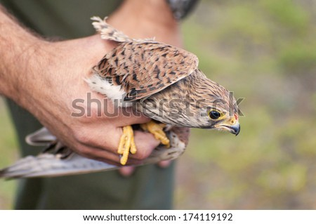 Common Kestrel, Falco tinnunculus, wounded in the beak in the hands of a veterinarian