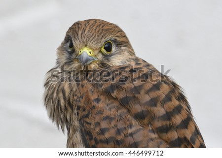 Common kestrel first flight attempt - stock photo