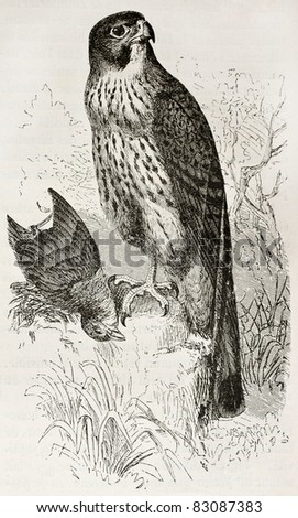 Common Kestrel old illustration (Falco tinnunculus). Created by Kretschmer and Wendt, published on Merveilles de la Nature, Bailliere et fils, Paris, 1878 - stock photo