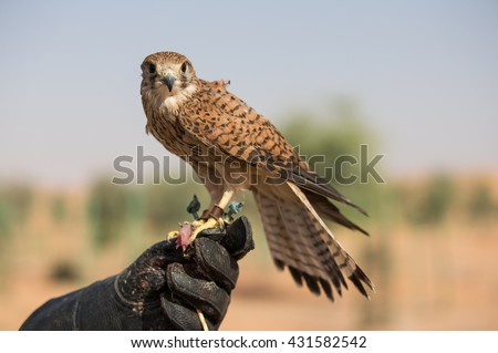 Common Kestrel sitting on a hand of its trainer. Kestrels are used to get children introduced to falconry.