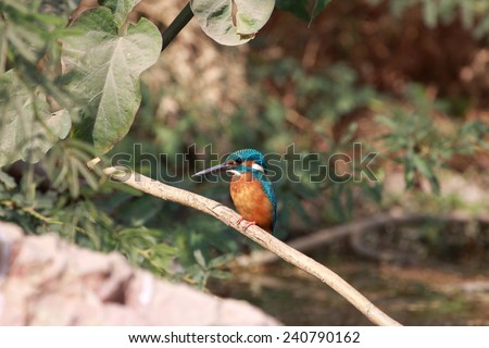 Common kingfisher - stock photo