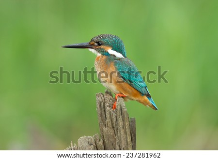 Common Kingfisher, Alcedo atthis, on a branch  - stock photo