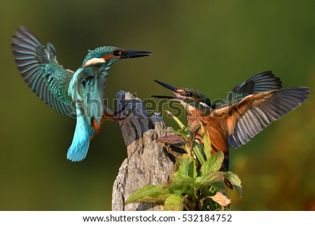 Common kingfisher fight