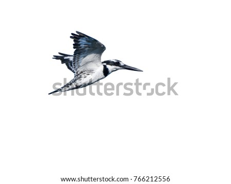 Common Kingfisher in Flight on White Background, Isolated