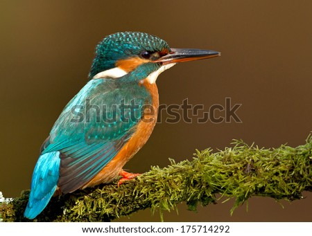 Common kingfisher on a mossy perch, female. - stock photo