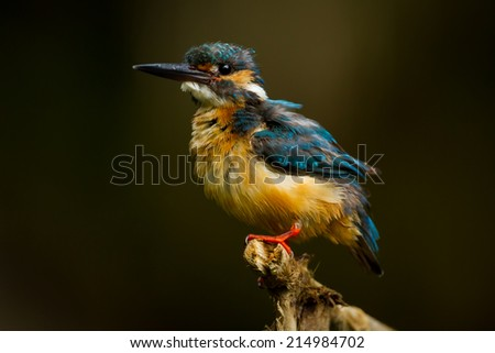 Common Kingfisher spread her feather in nature at Khaoyai national park, Thailand  - stock photo