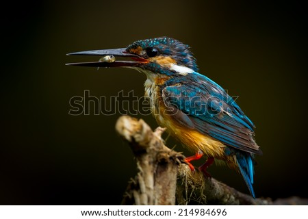 Common Kingfisher with the fish in her mount in nature at Khaoyai national park, Thailand  - stock photo