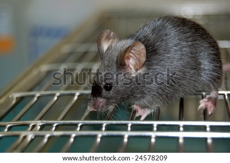 common laboratory mouse mus musculus, on cage - stock photo