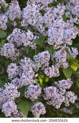 Common lilac - Syringa vulgaris - stock photo